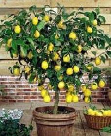Лимон и его выращивание в домашних условиях 109