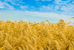 озимая пшеница фото