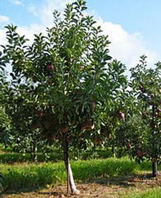Плодовые деревья уход весной опрыскивание