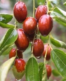 Китайский финик плоды имеют овальную